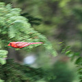 Cardinal In Flight by Thomas Woolworth