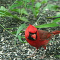 Cardinal In Springtime by Laurel Talabere