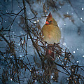 Cardinal In The Snowfall by Straublund Photography