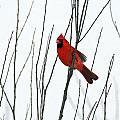 Cardinal In Willow  by Crystal Heitzman Renskers