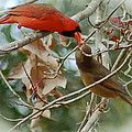 Cardinal Kisses by DigiArt Diaries by Vicky B Fuller