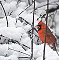 Cardinal Male 3669 by Michael Peychich
