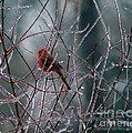 Cardinal On Ice by Living Color Photography Lorraine Lynch