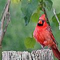 Cardinal Red by Jenny Gandert