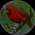 Cardinal Ring by Debra     Vatalaro