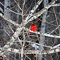 Cardinal  by Robin  Elliott-Hanley