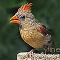 Cardinal by Rodney Campbell