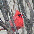 Cardinal With Fluffed Feathers by Laurel Talabere
