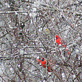 Cardinals In The Snow by Rick Friedle