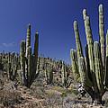 Cardon Pachycereus Pringlei Cacti by Hiroya Minakuchi