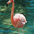 Caribbean Flamingo 2 by Luciano Comba