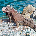 Caribbean Iguana by Jim Chamberlain