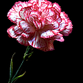 Carnation by Endre Balogh