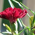 Carnation Named Hounsa by Sonali Gangane