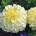 Carnations by Tikvah's Hope