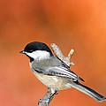 Carolina Chickadee - D007812 by Daniel Dempster
