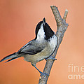 Carolina Chickadee - D007814 by Daniel Dempster