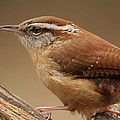 Carolina Wren by Daniel Reed