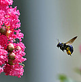 Carpenter Bee At Work by Bill Dodsworth