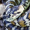 Carpet Python by Douglas Barnard