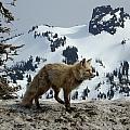 Cascade Red Fox 3 by Peter Mooyman