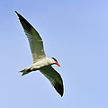Caspian Tern by Tony Beck