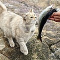 Cat Being Fed A Fish by Bjorn Svensson