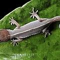 Cat Gecko by Robbie Shone