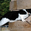 Cat Looking Thru The Knot Hole by LeeAnn McLaneGoetz McLaneGoetzStudioLLCcom