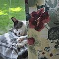 Cat Nap Curtain by Mike Witte