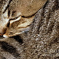 Cat Nap by Kim Yarbrough