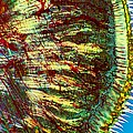 Cat Tongue Tissue, Light Micrograph by Dr Keith Wheeler