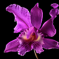 Catalea Orchid by Endre Balogh