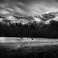 Cataloochee Elk Grazing The Fields by Gray  Artus