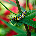 Caterpillar Before The Butterfly 1 by Andee Design