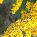 Caterpillar On Goldenrod by Kathy Peltomaa Lewis