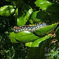 Caterpillar Photograph by Kristen Fox