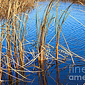 Cattail Reeds by Ms Judi