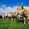 Cattle, Charolais by The Irish Image Collection