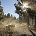 Cattle Cross A Gravel Road On A Fall by Michael S. Lewis