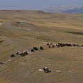 Cattle Drive In Montana by Annie Griffiths