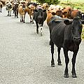 Cattle Drive On A Road  by U Schade