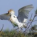Cattle Egret In Breeding Plumage by Photostock-israel
