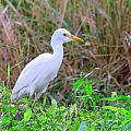Cattle Egret by Mary Deal
