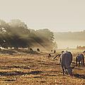 Cattle Grazing On Misty Morning by Jutta Bauer