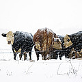 Cattle In A Snowstorm In Southwest Michigan by Randall Nyhof