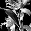 Cattleya - Bw by Christopher Holmes
