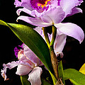 Cattleya by Christopher Holmes