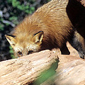 Cautious Red Fox by Larry Allan
