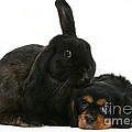 Cavalier King Charles Spaniel And Rabbit by Mark Taylor